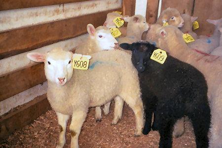 Sheep & Goat Marketing